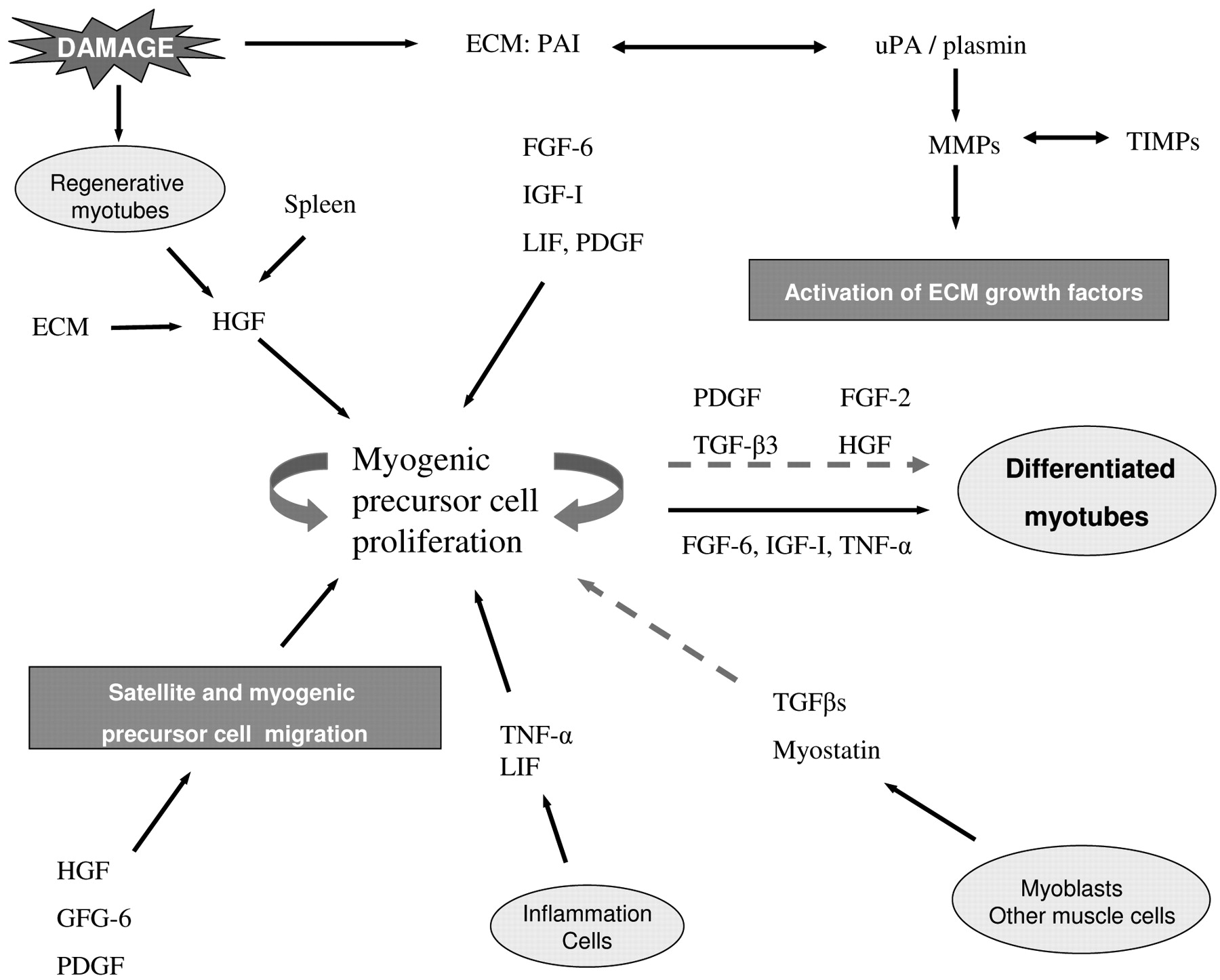 Muscle Regeneration Cellular And Molecular Events