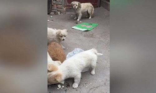 Chó con nhịn ăn để dành phần cho mẹ