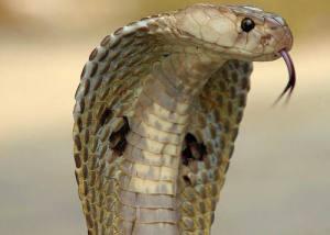 кобрата-и-лекарствата-от-змийска-отрова