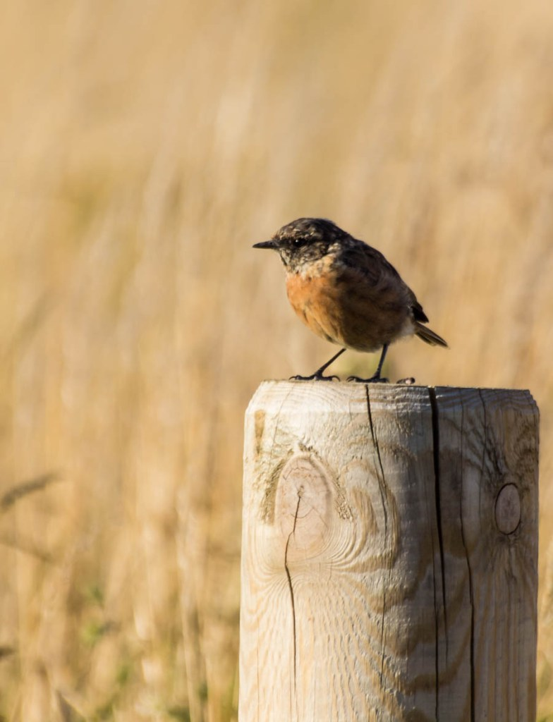 Female Stonechat, one of our summer visitor birds