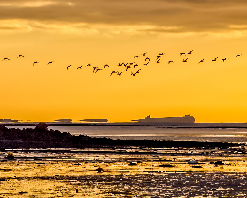 Geese flying at dawn from Holy Island with Inner Farne Island behind. Photographic services include providing images for websites and products