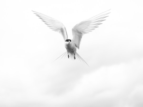 Arctic Angel: Black and white image of bird in flight