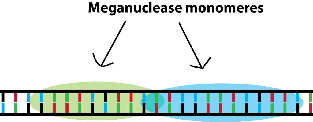 How to cut DNA - Meganucleases