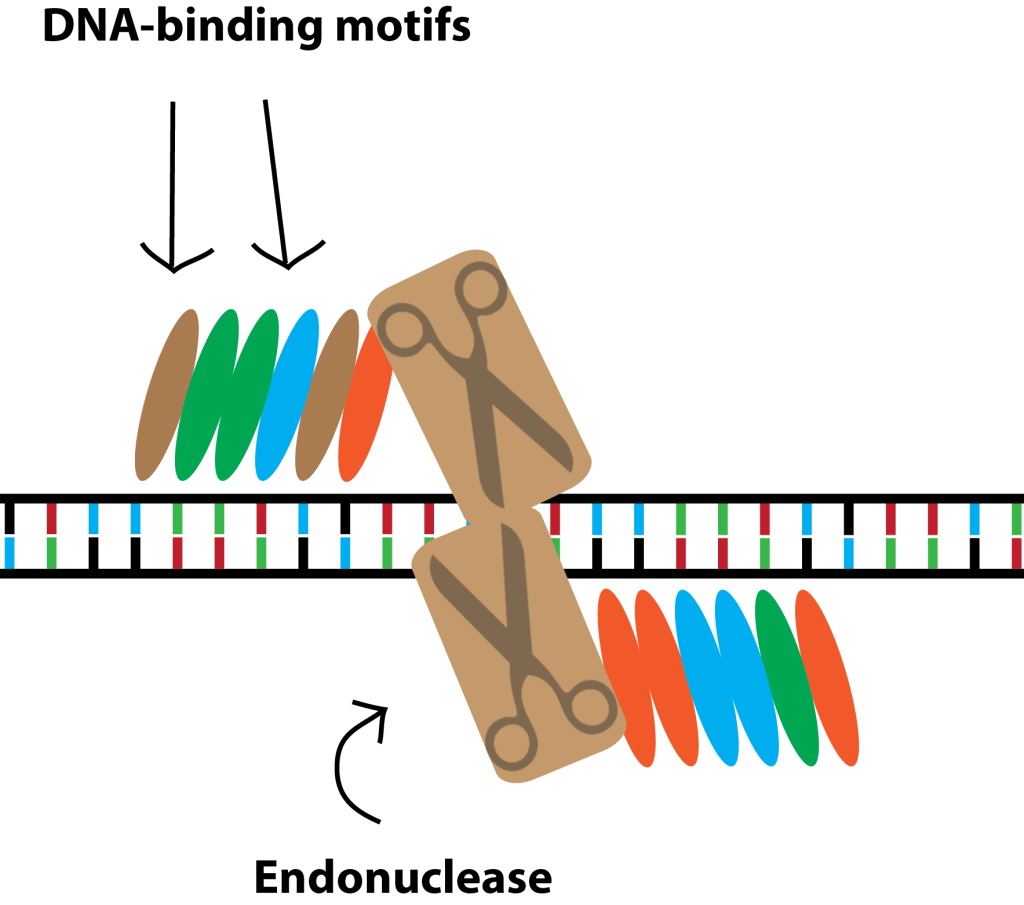 How to cut DNA - TALENs