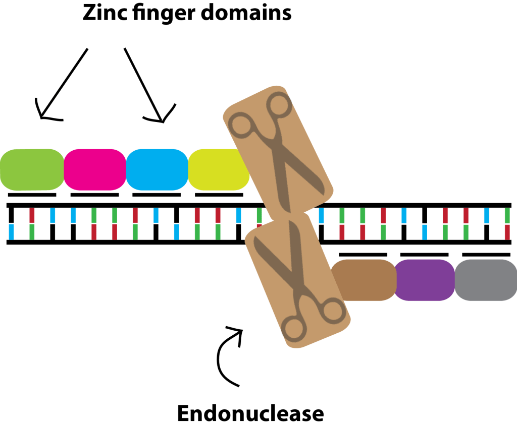 How to cut DNA - Zinc-finger nucleases