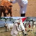 """הפרה האדומה והפרה ההינדית - """"גם את זה לעומת זה..."""""""