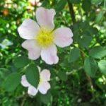 バラの分類/原種とは? オールド・ローズとは? モダン・ローズとは? それぞれの定義を正しく知ろう!【保存版】