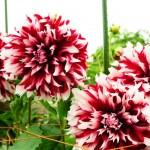 ダリアが見ごろ!艶やかで多彩な花がとにかく魅力的。晴れたらダリア園に出かけよう!