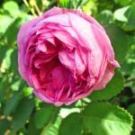 バラの香りの種類と、バラの強香品種をまとめて紹介します!