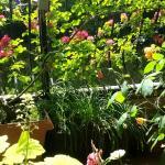 5月27日のベランダのバラと花
