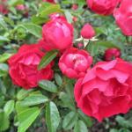 バラの花図鑑/「マザーズディ」は、鉢植えにぴったりなミニサイズで育てやすいバラ!