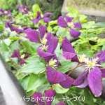 8月2日のベランダのバラと花「クレマチスの2番花が満開!」