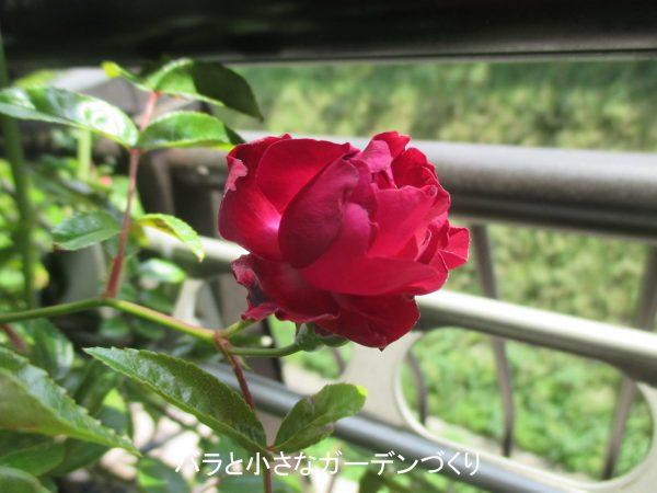 紅玉 開花