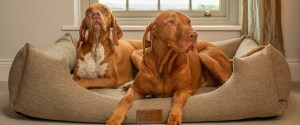 Vizsla sitting lying in an Ivy and duke tweed Lounger dog bed, next to an English Pointer dog.