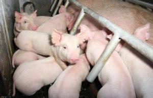 SPF豚厩舎