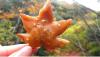 【海外の反応】今日初めて知ったことーー日本人は紅葉の天ぷらをおやつとして食べている
