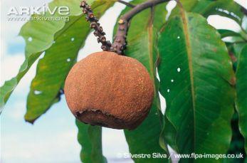 Brazil nut seed pods