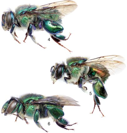 Euglossa Orchid bees