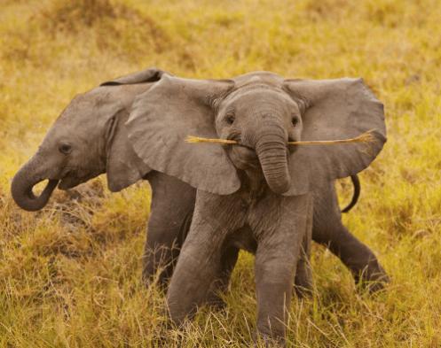Baby Elephants 02