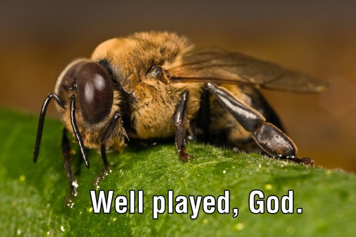 The Male Honeybee 13