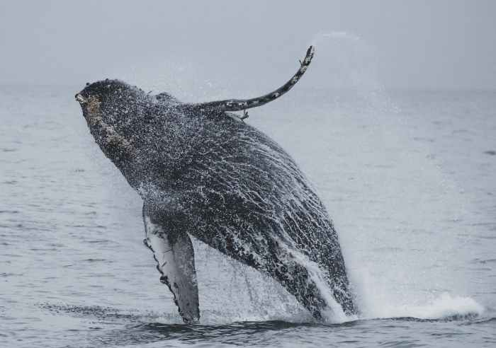 humpback whale jumping over the sea