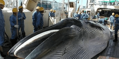 Japanese Whale Hunting