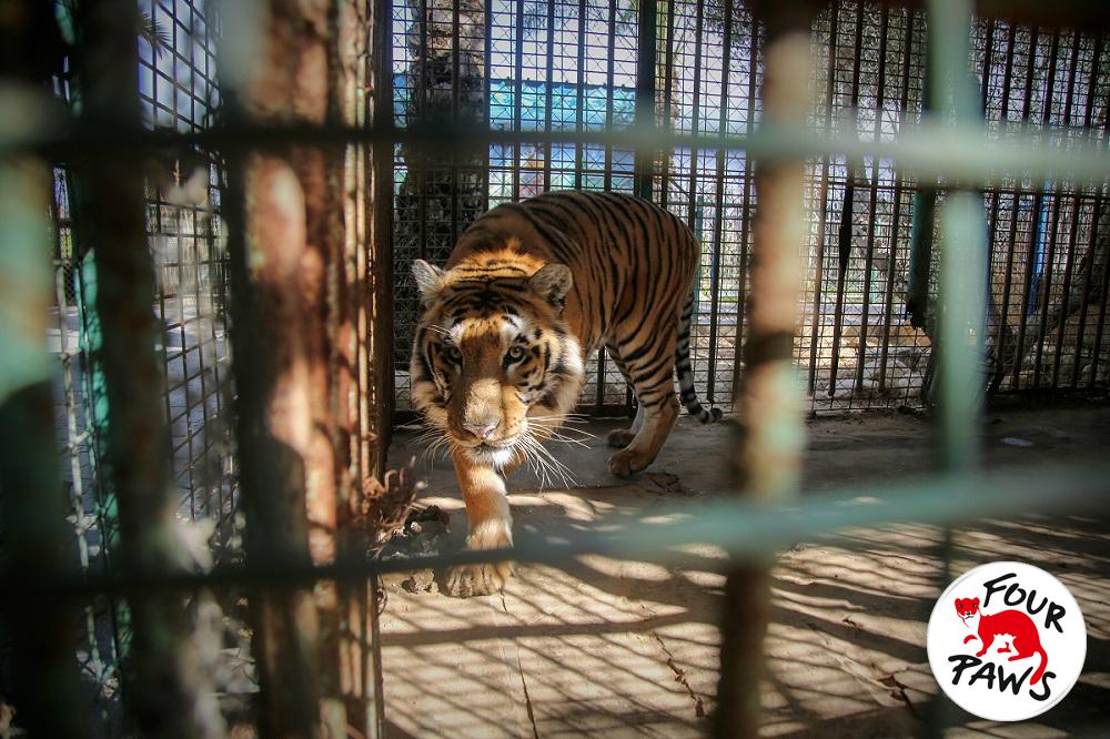 Tiger FOUR PAWS