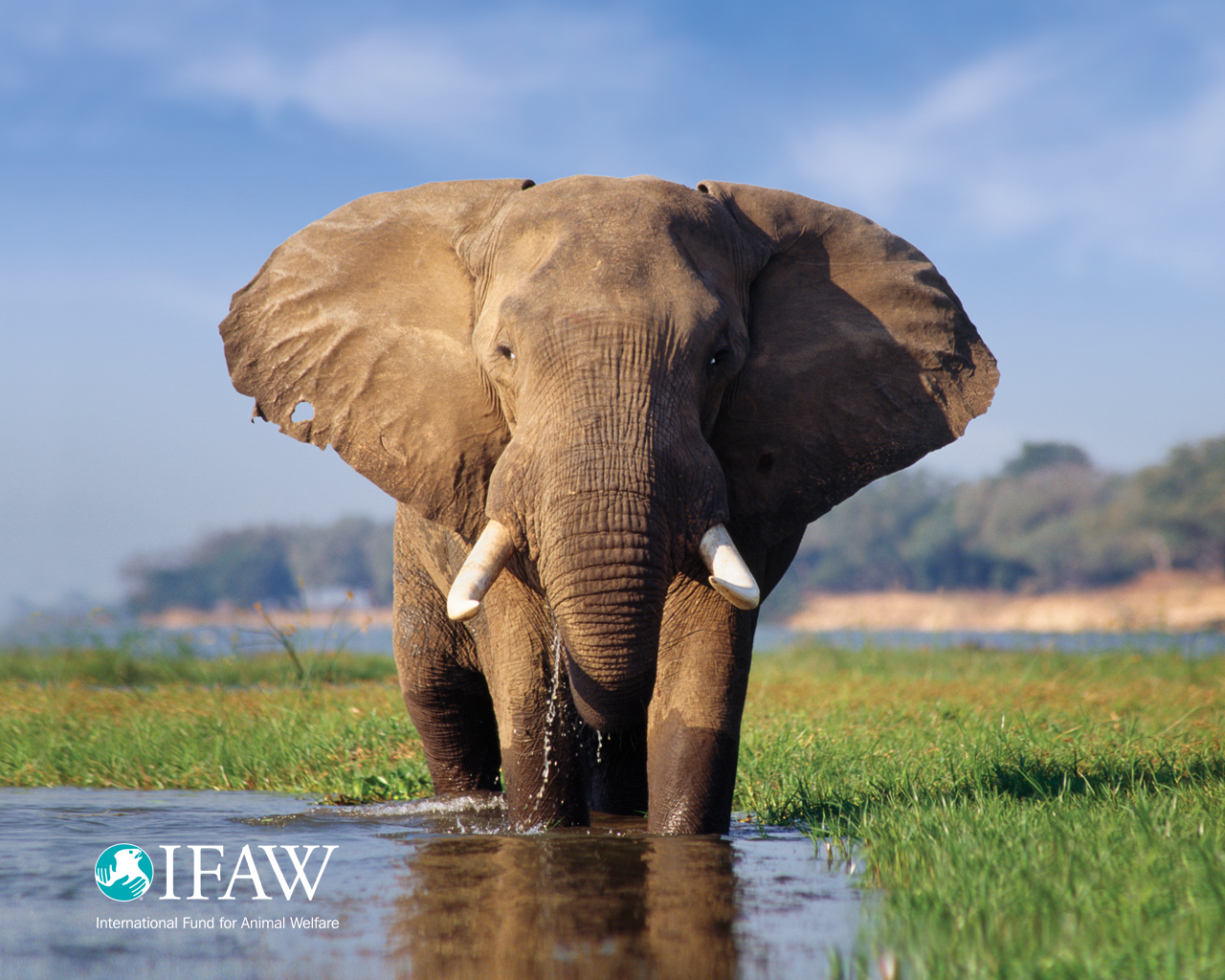Elephant_IFAW