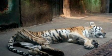 tiger skin and bones