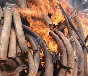 Ivory-burning_small_02