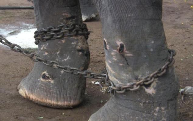 Elephants_BadlyWounded1-large