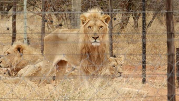 Lions_Starved_4