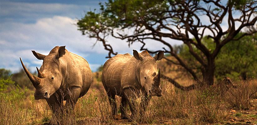 rhino-report-820