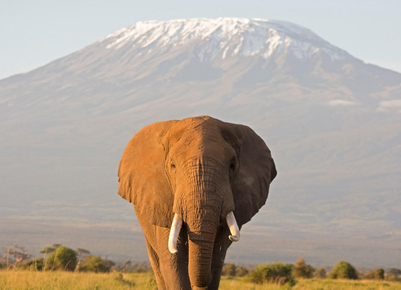 Unique safari image of a large bull elephant facing the camera against a Kilimanjaro backdrop at sunrise. Amboseli national park, Kenya.