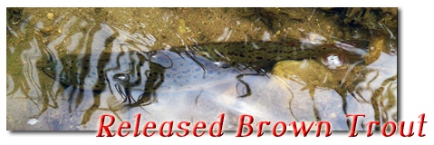Released Brown Trout