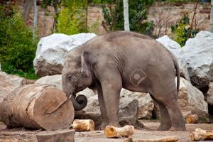 4762087-A-young-elephant-pushing-a-log-working-in-a-lumberyard-Stock-Photo