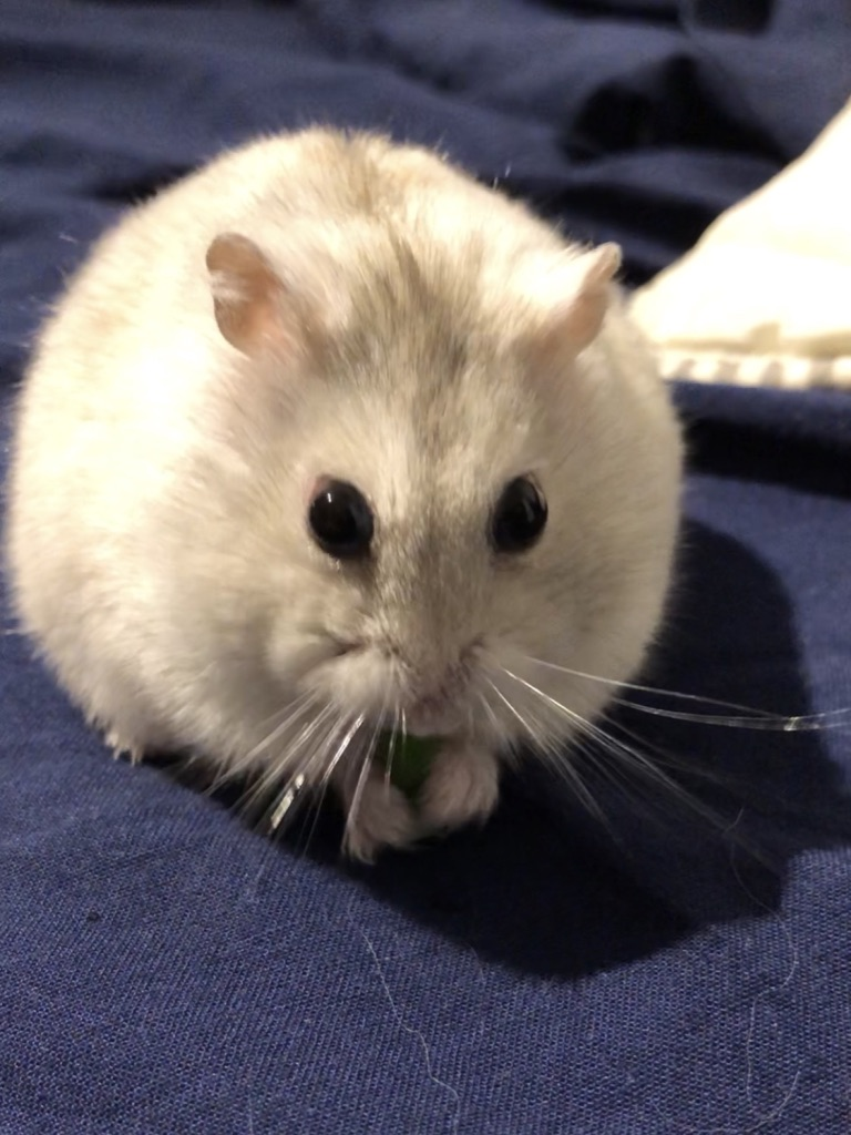 Tiny hamster munching on a snack