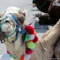 Camel from Tunis, Tunisa in the Northern African continent