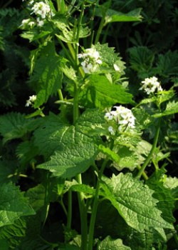 Garlic Mustard © MC