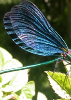 Beautiful Demoiselle © KM