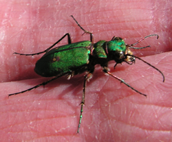 Green Tiger Beetle (Cicindella campestris) held by Bill Shepard, at Grammars Common © GT