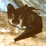 A Brown long-eared bat © CP