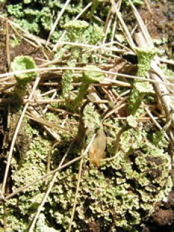Cladonia species on flushed soil, Grammar's Common © GT