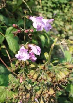 Wood Calamint (Clinopodium menthifolium) flowering in August © GT