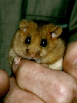 Dormouse in hand © RG
