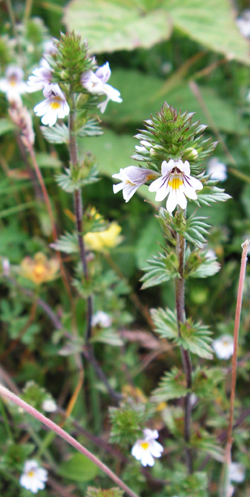 Euphrasia nemorosa, an Eyebright © GT