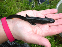 A female Great-crested Newt © RG