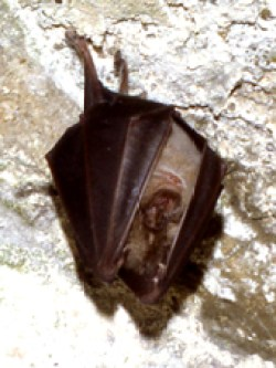 Greater horseshoe bat Carisbrooke © CP