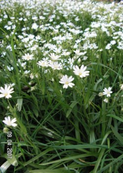 Greater Stitchwort © GT