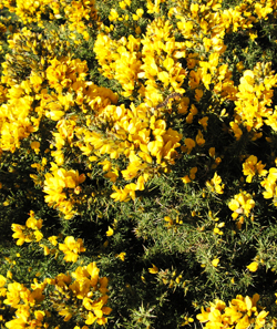 Common Gorse © GT